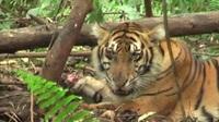 Tìm hiểu về loài hổ Sumatra