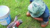 """Phát sốt với video bắt cá trê """"khủng"""" trong 6 phút từ """"mồi câu"""" đơn giản"""