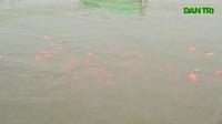 Đàn cá Koi Nhật Bản chuyển từ sông Tô Lịch sang Hồ Tây giờ ra sao?