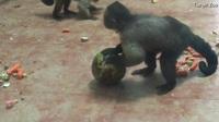 """Con khỉ có gương mặt giống người """"cô đơn"""" trong tình yêu"""