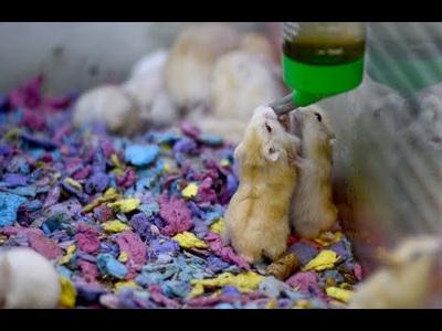 """Chuột Hamster """"cháy hàng"""" dịp cận Tết Canh Tý 2020"""