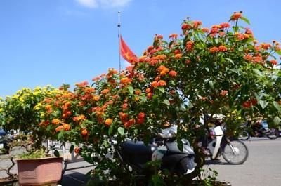 Hoa của núi rừng xuống phố khoe sắc đón Xuân