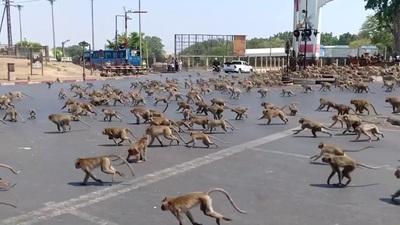 Hàng trăm con khỉ ẩu đả nhau vì... miếng ăn