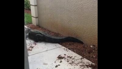 """Cá sấu """"đại chiến"""" bên ngoài cửa nhà dân"""