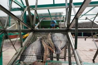 """TPHCM: Nông dân đổi đời nhờ nuôi cá """"trời cho"""""""