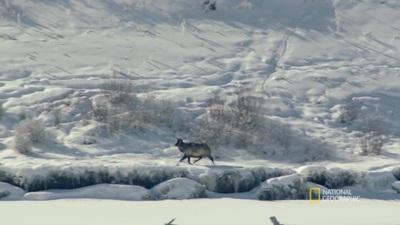 Xem đàn sói phối hợp rượt đuổi con mồi giữa tuyết trắng