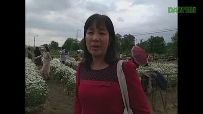 """Ứng dụng công nghệ sinh học để """"mang"""" vườn cúc họa mi từ Hà Nội về Đà Nẵng"""