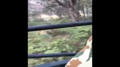 Đoạn video con hổ đuổi theo xe chở du khách tại Ấn Độ đang gây sốt (Video: ANI)