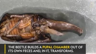 Mục sở thị toàn bộ quá trình biến đổi của loài bọ cánh cứng khổng lồ