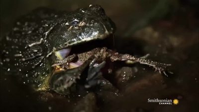 Nghẹt thở với màn rượt đuổi sinh tử giữa rắn hổ mang và ếch