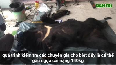 Kiểm tra sức khỏe cá thể gấu 140kg bị vận chuyển trái phép.