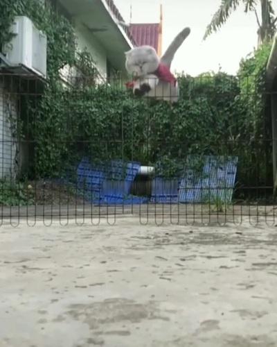 Chết cười với tai nạn hài hước của chú mèo hậu đậu