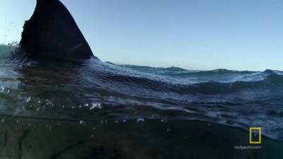 """""""Nghẹt thở"""" cuộc rượt đuổi tốc độ giữa cá mập và hải cẩu"""