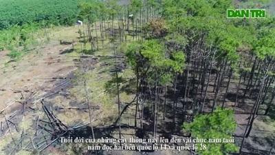 Rừng thông tại Đắk Nông bị bức tử