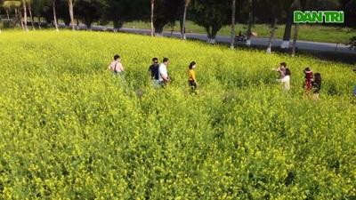 Ngỡ ngàng với cánh đồng hoa cải đẹp tựa chốn cổ tích ngay gần Hà Nội
