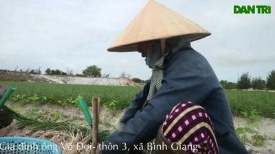 Vùng kiệu tết Quảng Nam tất bật vào vụ thu hoạch