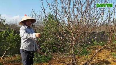 Thủ phủ đào phai Đông Sơn vào vụ Tết