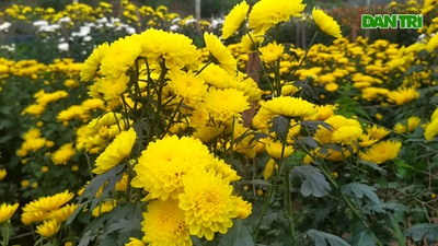 Làng hoa Phù Vân rực rỡ trên vùng chiêm trũng Hà Nam