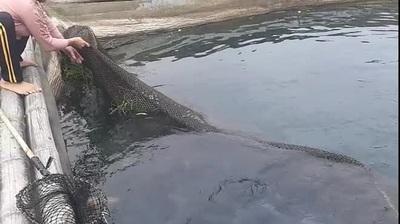 Nuôi cá rô phi khủng, Tết bắt lên bán giá gần 500 ngàn/con