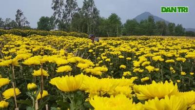 Hoa cúc được mùa, nông dân thu lãi lớn