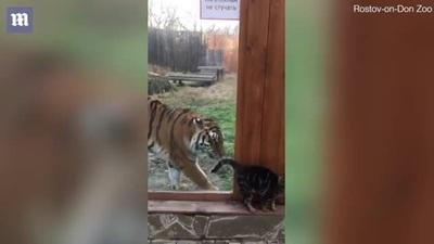 """Thú vị phản ứng của mèo và hổ khi """"đụng độ"""""""