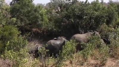 Đôi sư tử chạy thục mạng khi bị voi đuổi sát nút