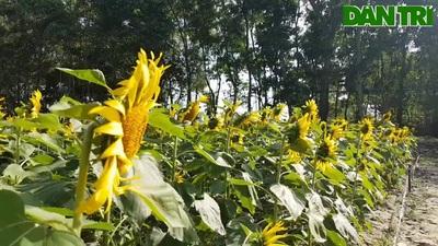 Khám phá rừng hoa hướng dương ở rừng Hà Gia