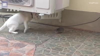 """""""Hết hồn"""" với chú chuột... dọa mèo sợ chết khiếp"""
