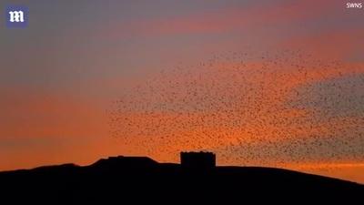 Đàn chim sáo tạo thành hình trái tim trên bầu trời