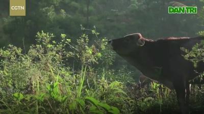 Từ bỏ vị trí giám đốc tại Thượng Hải, chàng trai về quê nuôi gà, chăn bò