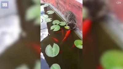 Kỳ lạ: Khoảnh khắc thân mật giữa mèo và cá koi