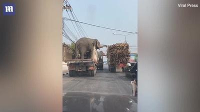 Clip vui: Hai chú voi vô tình dừng chờ đèn xanh cạnh xe chở... mía