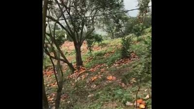 Hà Giang: 8.300 tấn cam vào mùa thu hoạch bị rụng hàng loạt