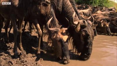 Khoảnh khắc kinh hoàng khi linh dương đầu bò đối mặt với cá sấu khổng lồ
