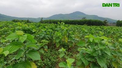 Mô hình trồng dâu nuôi tằm quy mô lớn đầu tiên ở Hà Tĩnh.