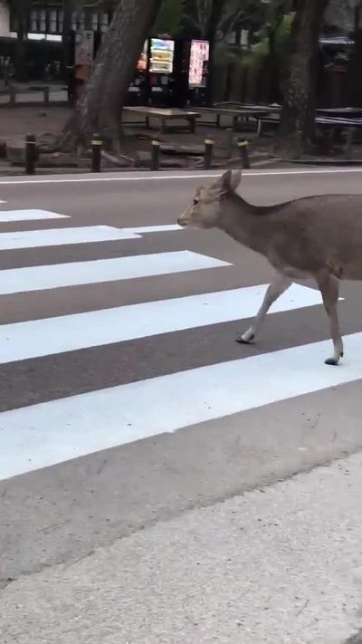 Thú vị chú nai biết đi bộ qua đường đúng luật
