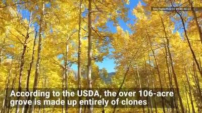 Cây 80.000 năm tuổi gồm hơn 40.000 gốc nối liên nhau