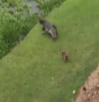 Khoảnh khắc cá sấu lặng lẽ bò ra khỏi nước để… vồ gấu mèo