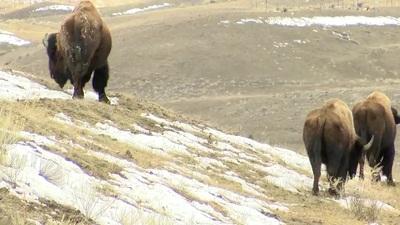Đàn bò rừng khiến phóng viên hoảng sợ... chạy lẹ