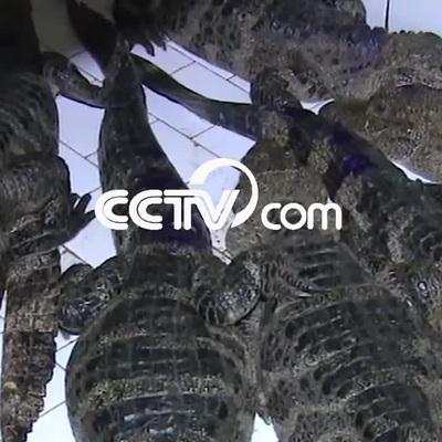 Hơn 14.000 con cá sấu tỉnh giấc sau kỳ ngủ đông
