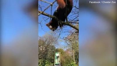 """Vườn thú cho các loài động vật """"lên hình"""" để giúp công chúng khuây khỏa"""