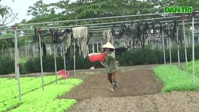 Người trồng rau sẵn sàng nhổ bỏ nông sản để... dập dịch