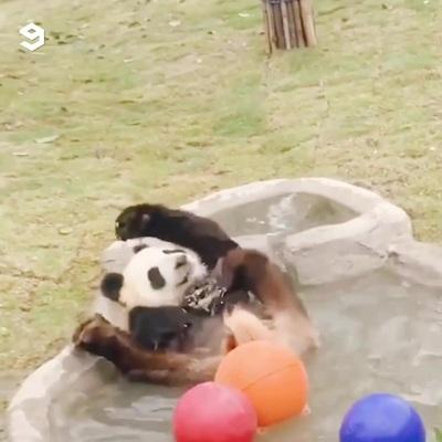 Thư giãn với những khoảnh khắc vui nhộn và hài hước của gấu trúc