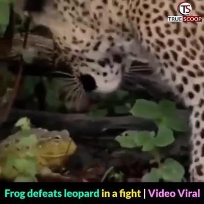 """Chú ếch con """"đánh bại"""" một con báo"""