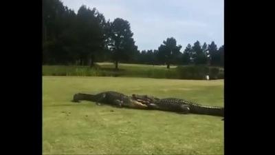 """Cặp cá sấu khổng lô """"ẩu đả"""" suốt gần 2 tiếng mới phân thắng bại"""