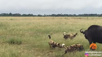 Trâu rừng bất lực khi bị đàn chó hoang bao vây, cướp con nhỏ ngay trước mắt