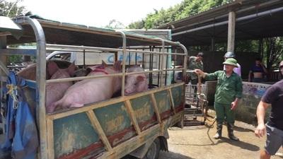 Lợn sống từ Lào - Campuchia đổ về, lợn hơi trong nước liên tục mất giá