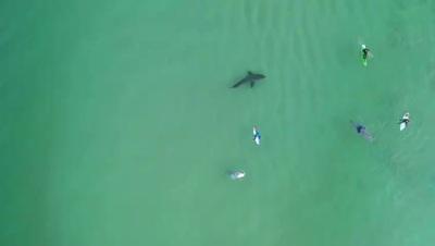 Cá mập trắng thám thính người chơi lướt sóng ở cự li rất gần