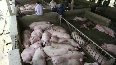 """Lo ngại người chăn nuôi """"bán tống, bán tháo"""" lợn thịt để """"vớt"""" giá!"""