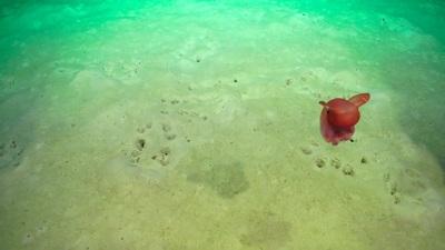 Một con bạch tuộc khổng lồ được chụp bằng camera bởi thiết bị điều khiển từ
